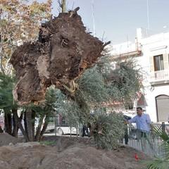 Piantumazione albero centenario in piazza piazza Natale D'Agostin