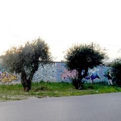 Si raccolgono olive in via Falcone
