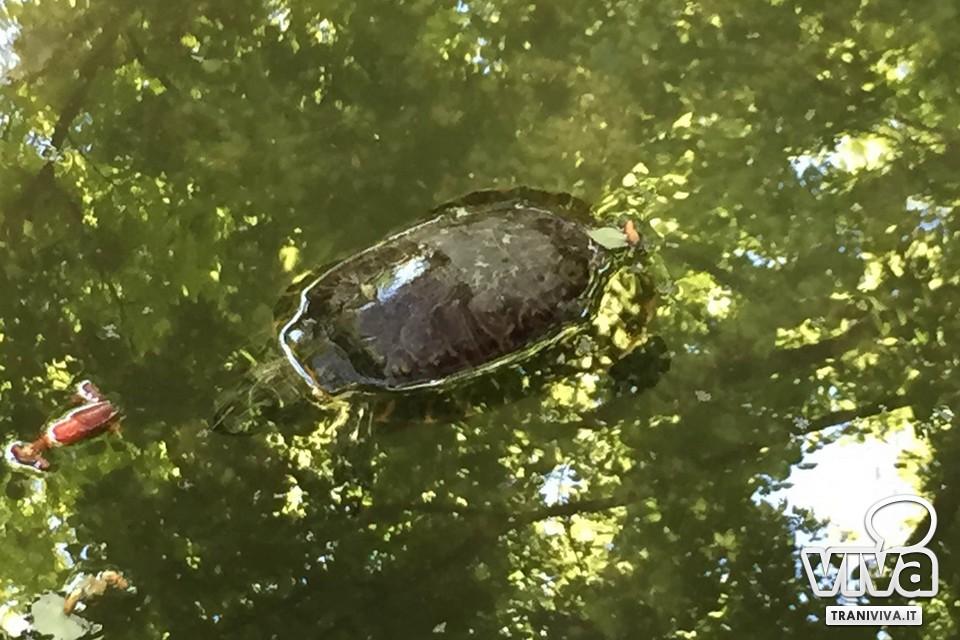 Trani tartarughe morte nella vasca della villa comunale for Piscina tartarughe