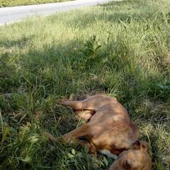 Cane pitbull salvato dai volontari della Folgore