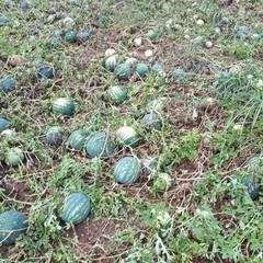 Maltempo, danni ai frutteti
