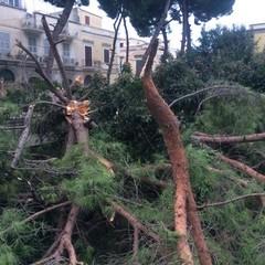 Albero caduto in corso Imbriani
