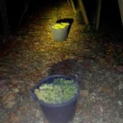 furto uva
