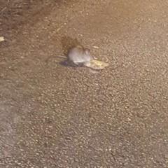 Trani invasa dai topi, scatta l'allarme
