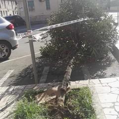 Albero caduto piazza Petronelli