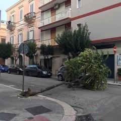Maltempo, alberi caduti