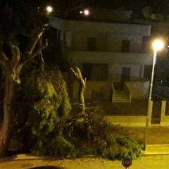 Precipita enorme ramo di pino in via Malcangi