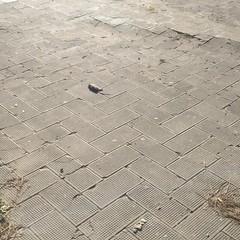 Topo morto in Piazza Gradenigo