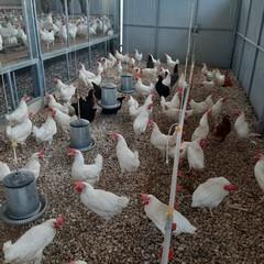 """Uova genuine e ricche di proteine dall'azienda avicola """"Colangelo"""""""