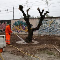 Via Falcone e via Borsellino, arrivano gli ulivi