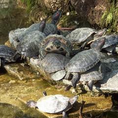 Le tartarughe tornano nella villa di Trani (foto 2005)