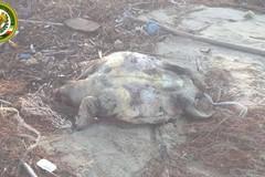 Maltempo, ancora tartarughe spiaggiate in zona Matinelle