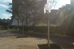 La Befana porta sette nuovi alberi in piazza Albanese