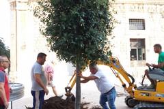 Abbattuto per far spazio a Battiti Live, ripiantumato l'albero di via San Giorgio