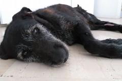 Investito il cane Nerone, il responsabile paga le cure mediche