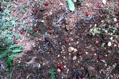 Maltempo, trombe d'aria con vento azzerano produzione di ciliegie