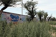 Trani, ulivi abbandonati su via Falcone