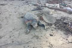 Zona Matinelle, continua il fenomeno delle tartarughe spiaggiate