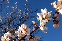 E' primaverile lo scenario in Puglia, con mandorli, albicocchi e peschi in fiore