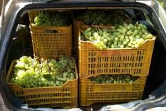 Sventato furto d'uva nella notte, 60 casse pronte per essere portate via
