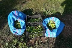 Crisi olivicola: il Consiglio di Trani in prima fila per la salvaguardia dell'agricoltura pugliese