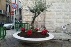 Il Natale è alle porte, installati due ulivi all'ingresso di Santa Chiara