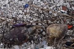 Ritrovate altre due tartarughe a Trani: erano senza vita