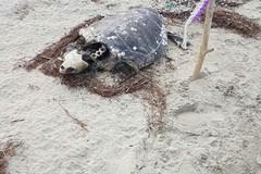 Matinelle, tartarughe in avanzato stato di decomposizione: nessuno le rimuove