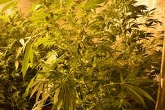 Traffico e detenzione di marijuana: pregiudicato andriese arrestato a Trani