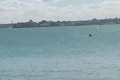 Ritornano i delfini nelle acque del porto di Trani