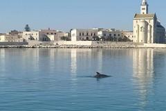 Magia di primavera nelle acque del Porto di Trani, un delfino nuota ai piedi della Cattedrale