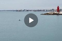 Delfino nel Porto di Trani
