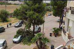 Grosso ramo di pino si spezza e finisce sulle auto parcheggiate: nessun ferito