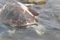 Una tartaruga caretta priva di vita ritrovata sulla spiaggia di Colonna