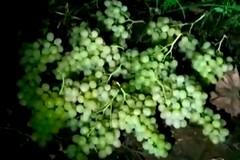 Ormai è guerra aperta tra Guardie Campestri e furti d'uva: servono rinforzi