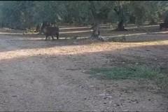 Un branco di cinghiali fra ulivi e viti: agricoltori in allerta