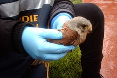 Salvato un piccolo falco tra Trani e Corato
