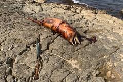 Una carcassa di delfino sulla costa tranese: una triste immagine di fine estate