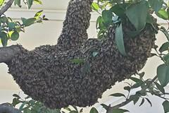In corso Vittorio Emanuele sciame d'api: hanno preso d'assalto un albero