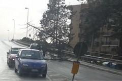 Alto albero di pino cade sul cavalcavia in viale Spagna