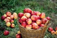 Una mela al giorno toglie il medico di torno: da dove proviene il celebre detto?