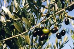 In tempo di crisi si raccolgono olive su via Falcone