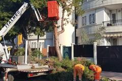 Verde pubblico, rimossi i pini in via Bari e piantumati cento nuovi esemplari