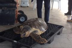 Nuovo ritrovamento di Caretta Caretta a Trani: questa volta la tartaruga è viva