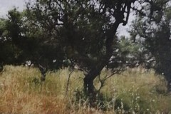 Ulivi estirpati a Trani, Merra: «Il Comune di Trani non ha alcuna competenza sull'autorizzazione»
