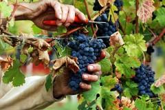 Vendemmia, come scegliere il momento giusto per la raccolta delle uve