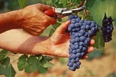 Inizia la vendemmia in Puglia, con lieve calo del 5% nelle province di Bari e Bat