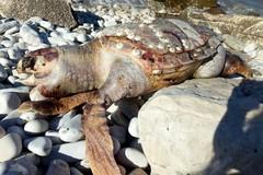 Ancora una Caretta Caretta ritrovata sul litorale di Trani