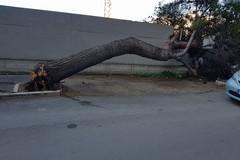 Alto albero di pino cade in via Bari, nessun ferito