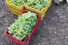 Furti di uva nella campagne di Trani: nuovo episodio in contrada Casalicchio